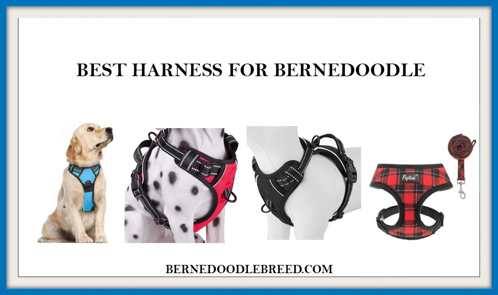 BEST HARNESS FOR BERNEDOODLE