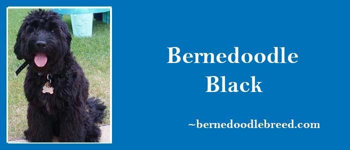 Bernedoodle black with Solid black, Black tricolor, Black merle tricolor, Black bicolor & More