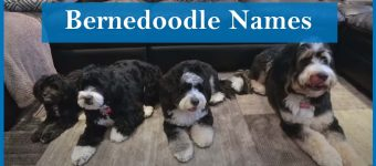 Best Bernedoodle Names/ List of 277 Best Bernedoodle Names