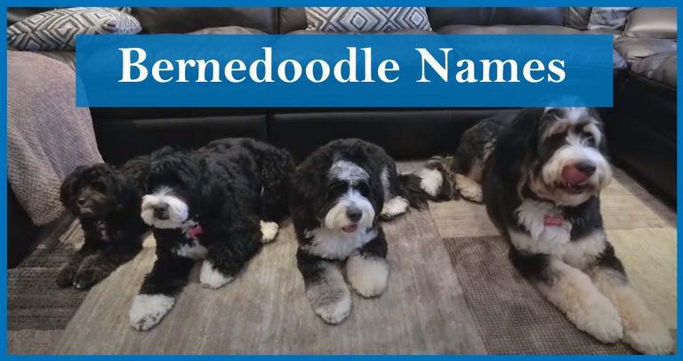 Best Bernedoodle Names/ List of 277 Best Bernedoodle Names