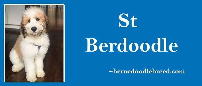 St Berdoodle look, size, temperament, lifespan, health & More