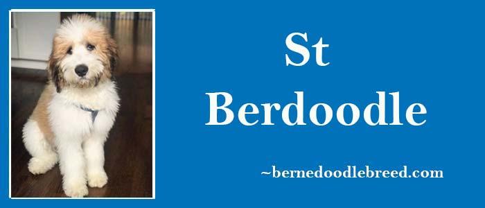 St Berdoodle