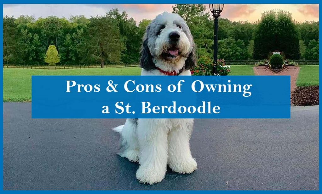 Pros and cons of owning St. berdoodle