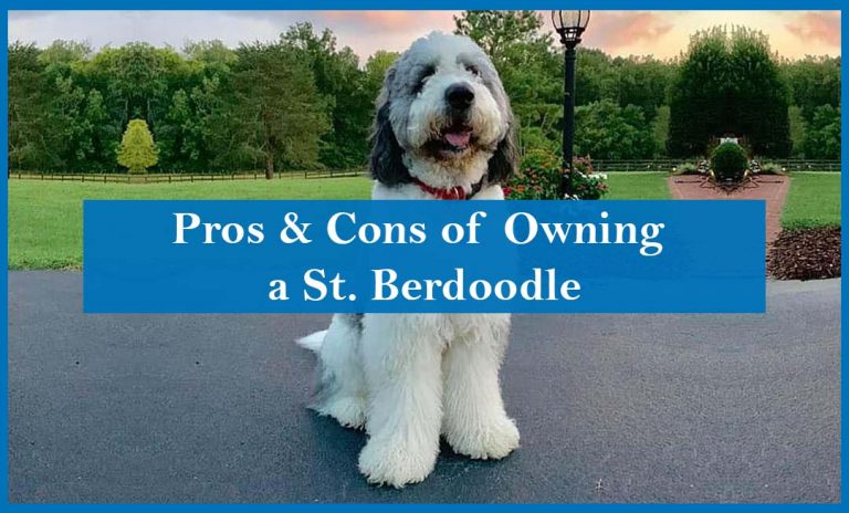 Pros and Cons of Owning a St. Bernedoodle