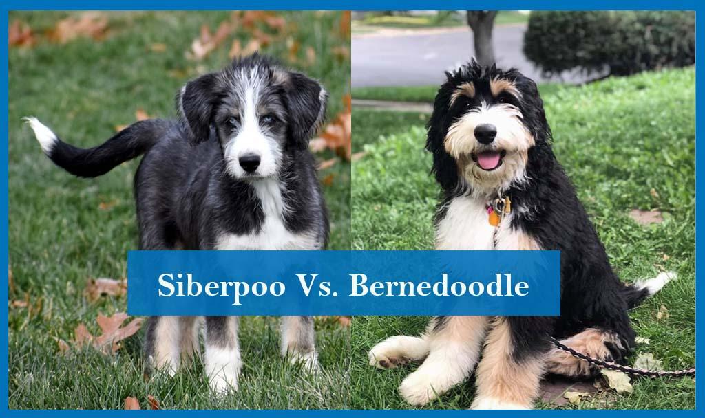 Siberpoo vs Bernedoodle